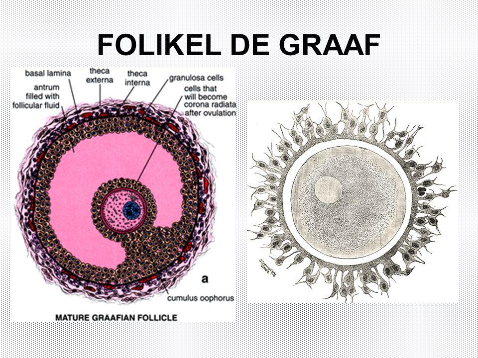 FOLIKEL DE GRAAF