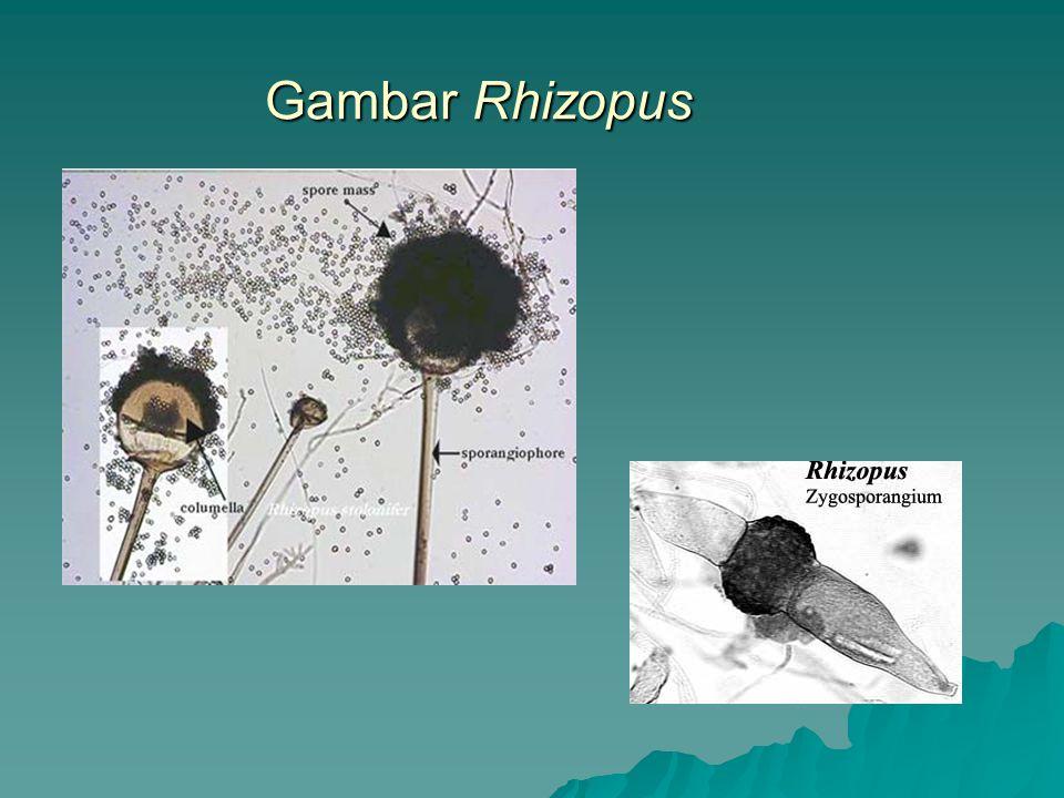 Gambar Rhizopus
