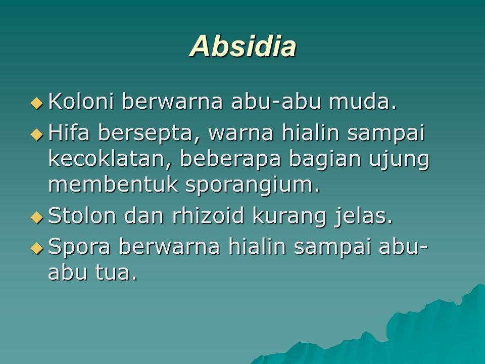 Absidia Koloni berwarna abu-abu muda.