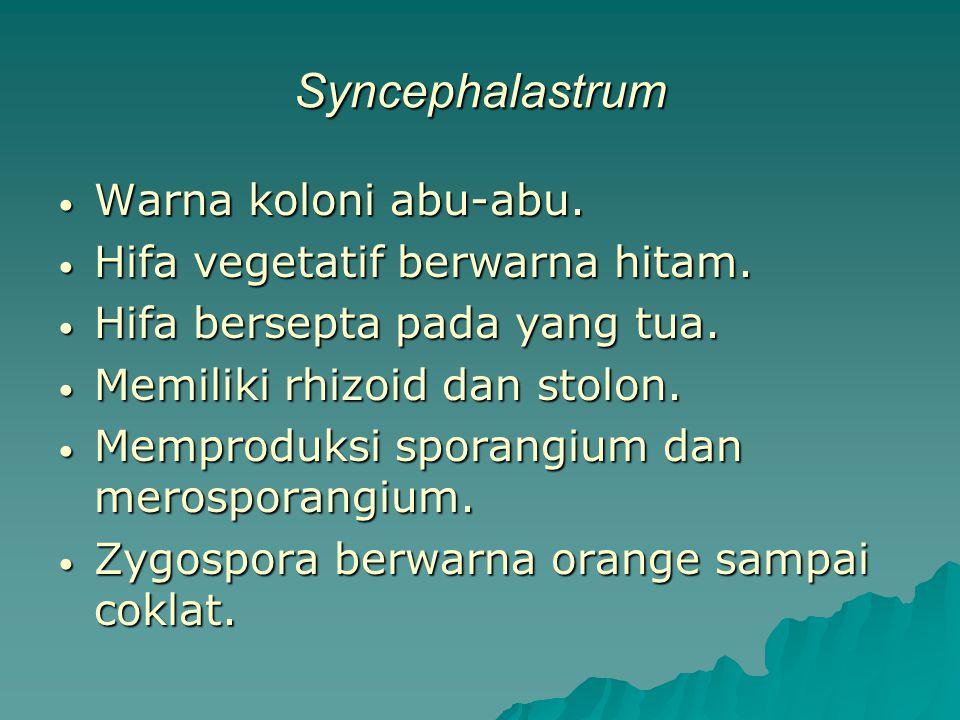 Syncephalastrum Warna koloni abu-abu. Hifa vegetatif berwarna hitam.