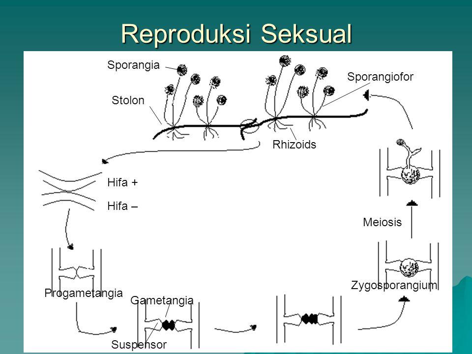Reproduksi Seksual Sporangia Sporangiofor Rhizoids Hifa + Hifa –