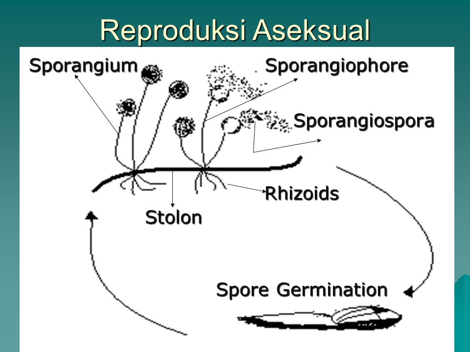 Reproduksi Aseksual Sporangiospora Sporangium Sporangiophore Rhizoids