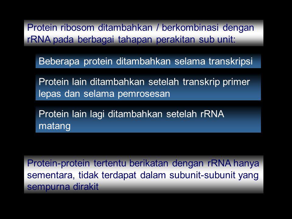 Protein ribosom ditambahkan / berkombinasi dengan rRNA pada berbagai tahapan perakitan sub unit: