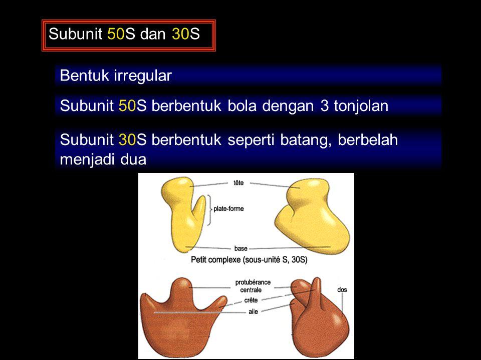 Subunit 50S dan 30S Bentuk irregular. Subunit 50S berbentuk bola dengan 3 tonjolan.