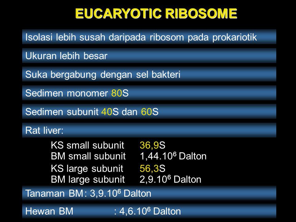 EUCARYOTIC RIBOSOME Isolasi lebih susah daripada ribosom pada prokariotik. Ukuran lebih besar. Suka bergabung dengan sel bakteri.