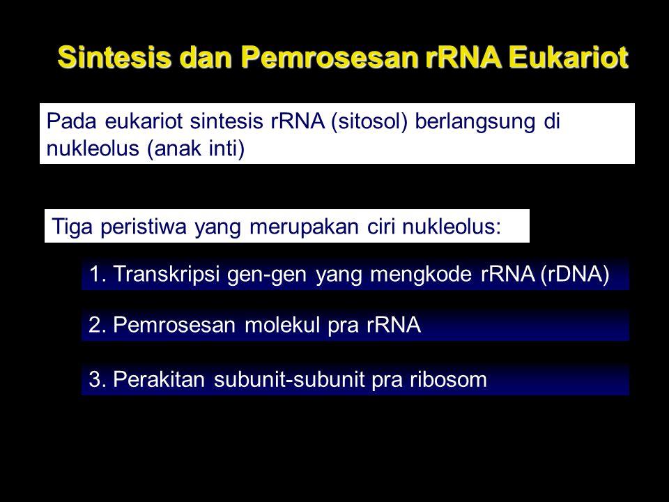 Sintesis dan Pemrosesan rRNA Eukariot