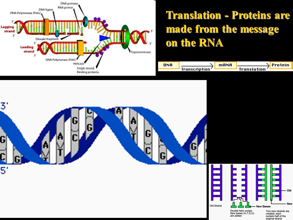 Translation - Proteins are made from the message on the RNA