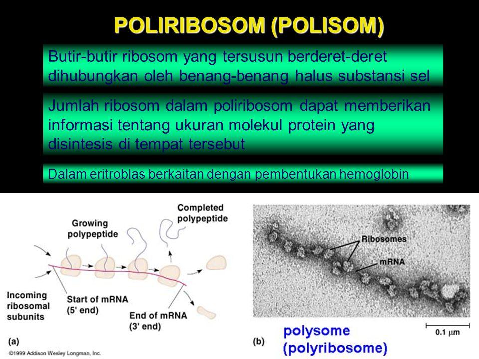 POLIRIBOSOM (POLISOM)