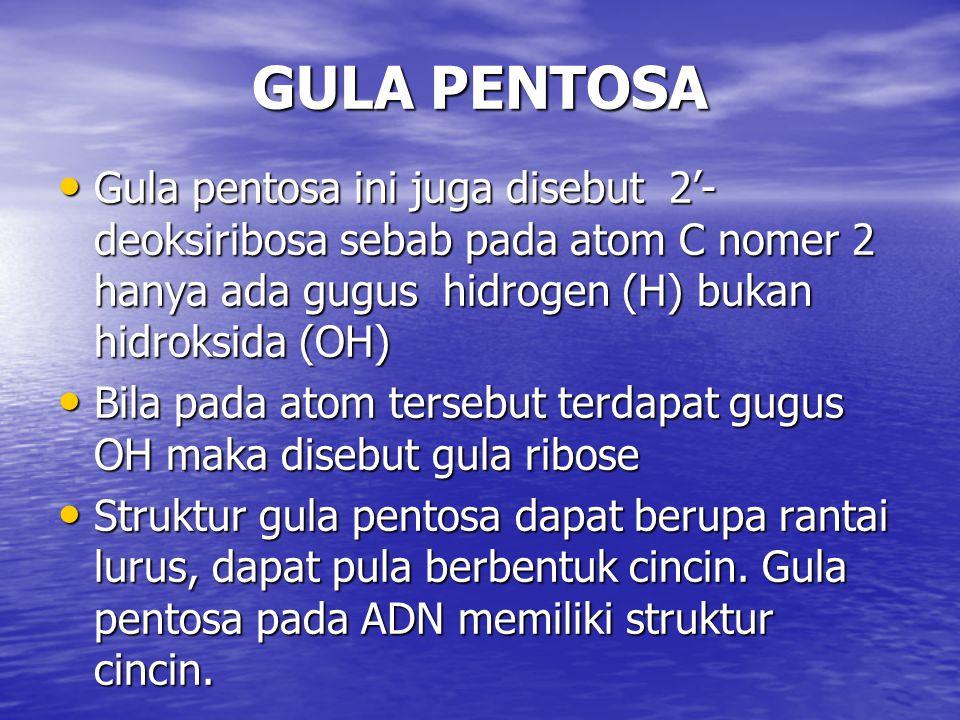 GULA PENTOSA Gula pentosa ini juga disebut 2'-deoksiribosa sebab pada atom C nomer 2 hanya ada gugus hidrogen (H) bukan hidroksida (OH)