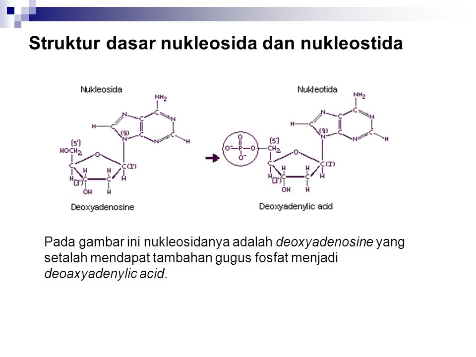 Struktur dasar nukleosida dan nukleostida