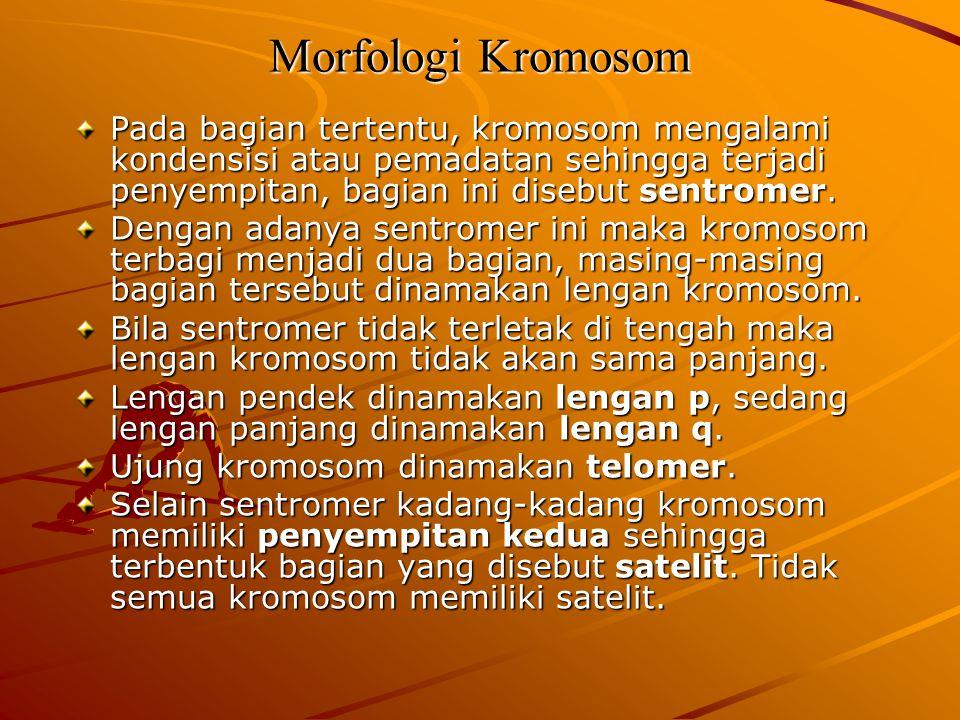 Morfologi Kromosom Pada bagian tertentu, kromosom mengalami kondensisi atau pemadatan sehingga terjadi penyempitan, bagian ini disebut sentromer.