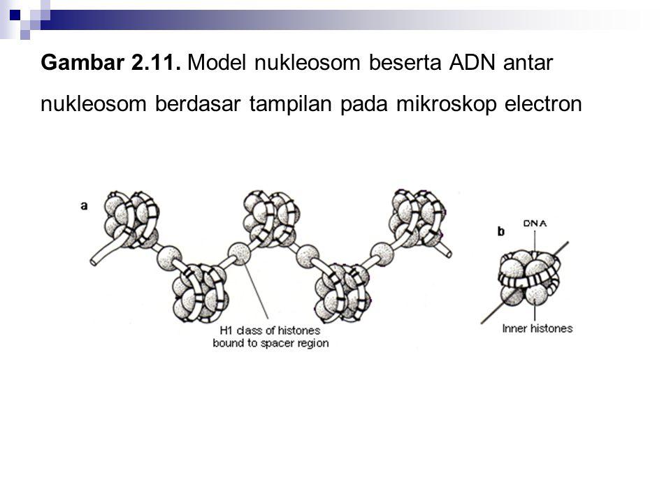 Gambar 2.11. Model nukleosom beserta ADN antar nukleosom berdasar tampilan pada mikroskop electron