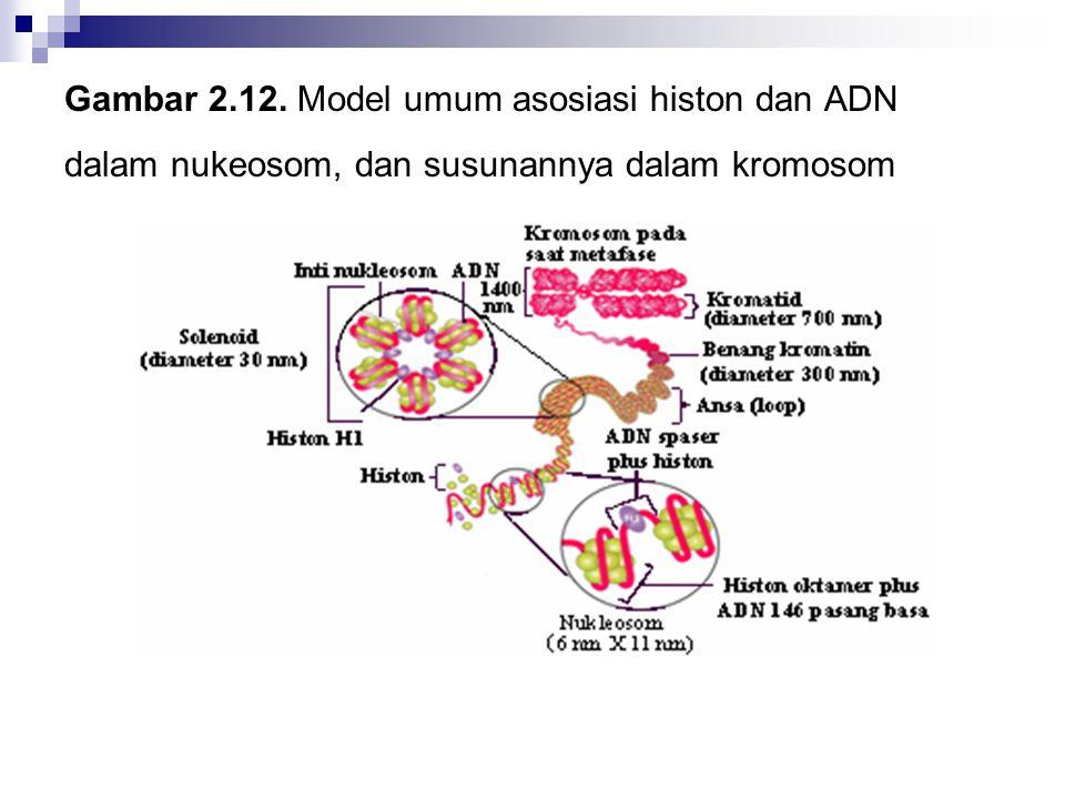 Gambar 2.12. Model umum asosiasi histon dan ADN dalam nukeosom, dan susunannya dalam kromosom