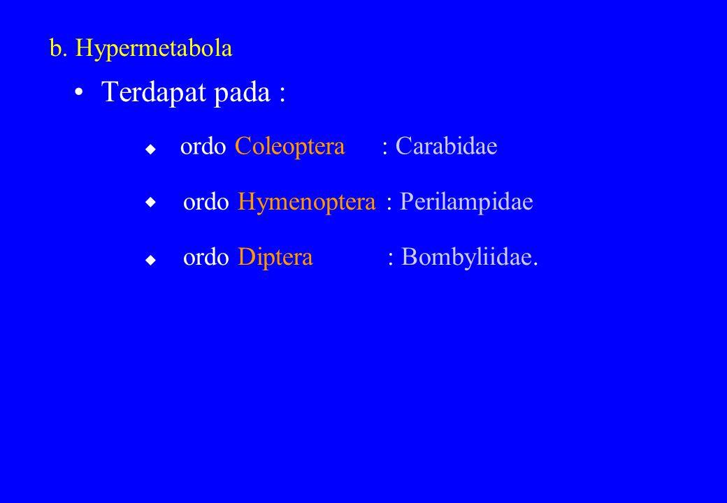 Terdapat pada : b. Hypermetabola ordo Coleoptera : Carabidae  