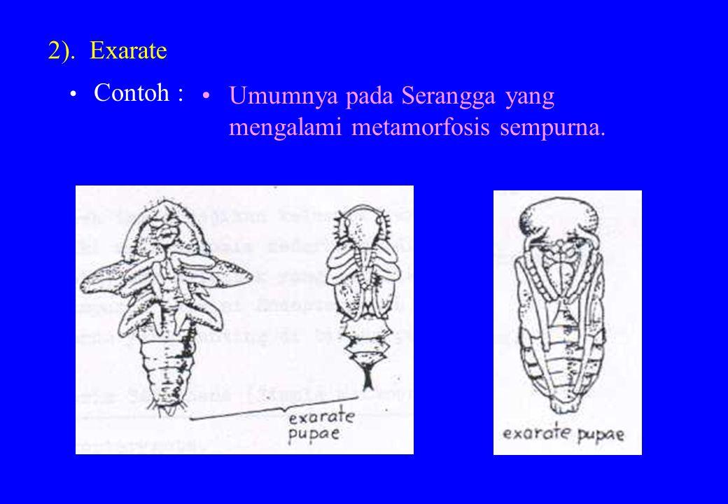 Umumnya pada Serangga yang mengalami metamorfosis sempurna.