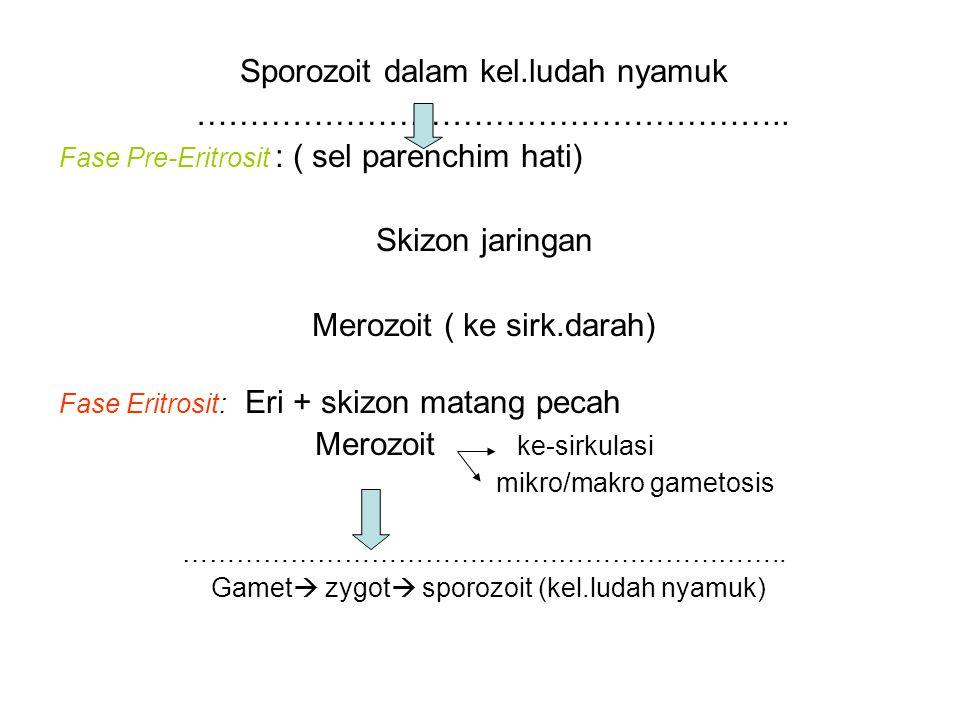 Sporozoit dalam kel.ludah nyamuk ………………………………………………..
