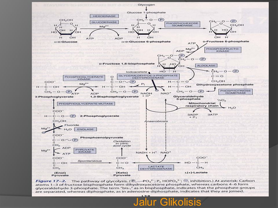 Jalur Glikolisis