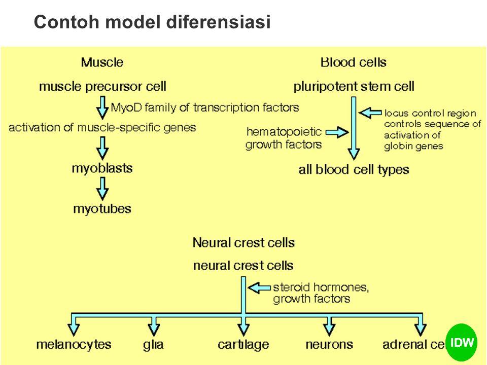 Contoh model diferensiasi