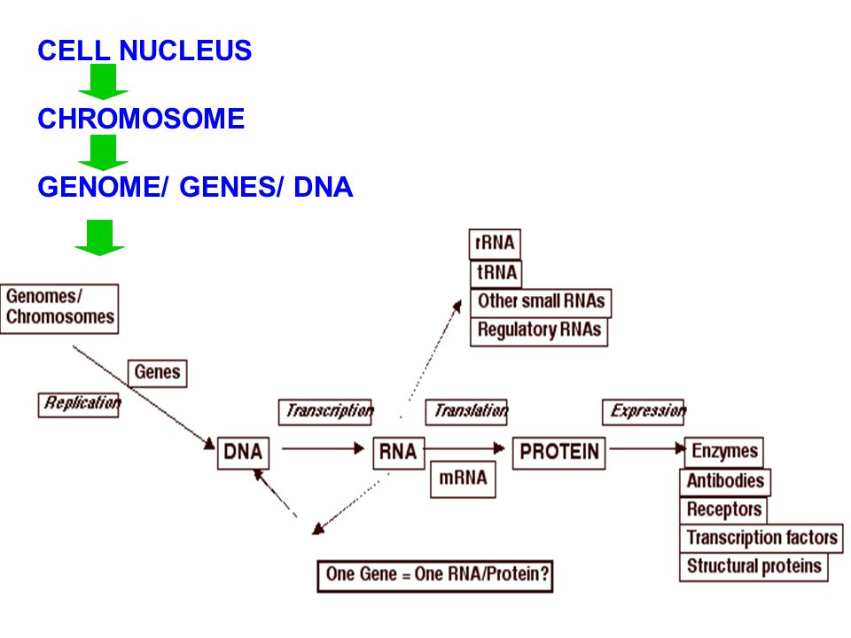 CELL NUCLEUS CHROMOSOME GENOME/ GENES/ DNA