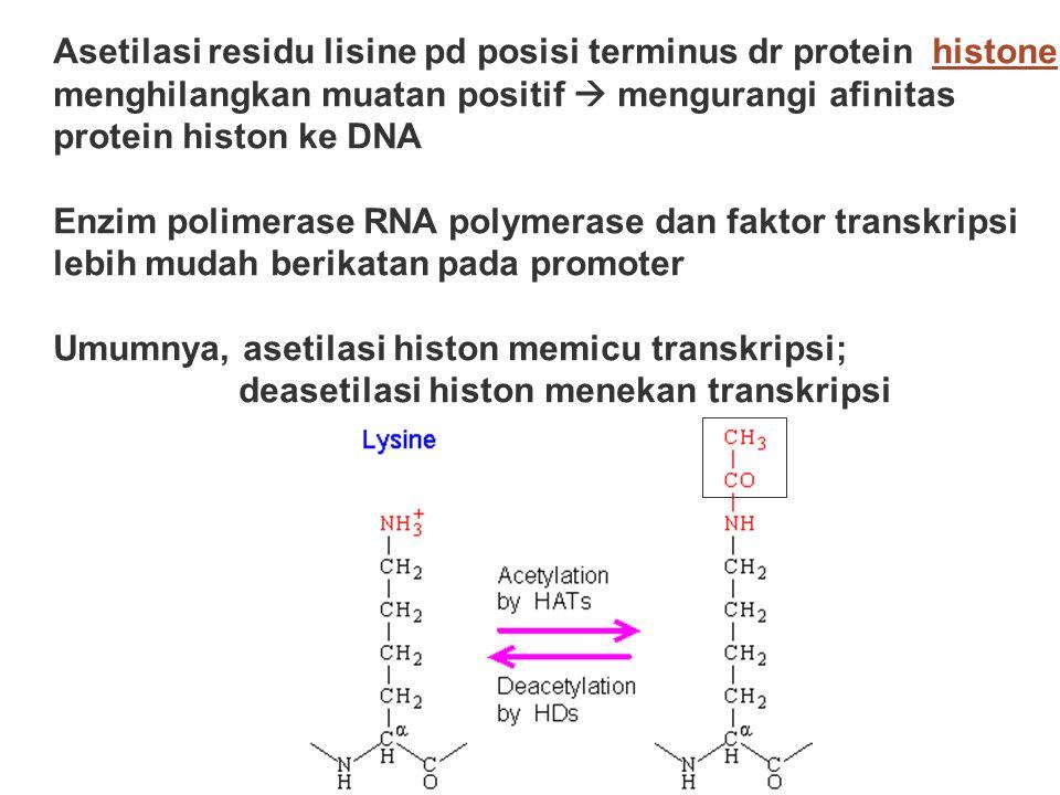 Asetilasi residu lisine pd posisi terminus dr protein histone menghilangkan muatan positif  mengurangi afinitas protein histon ke DNA