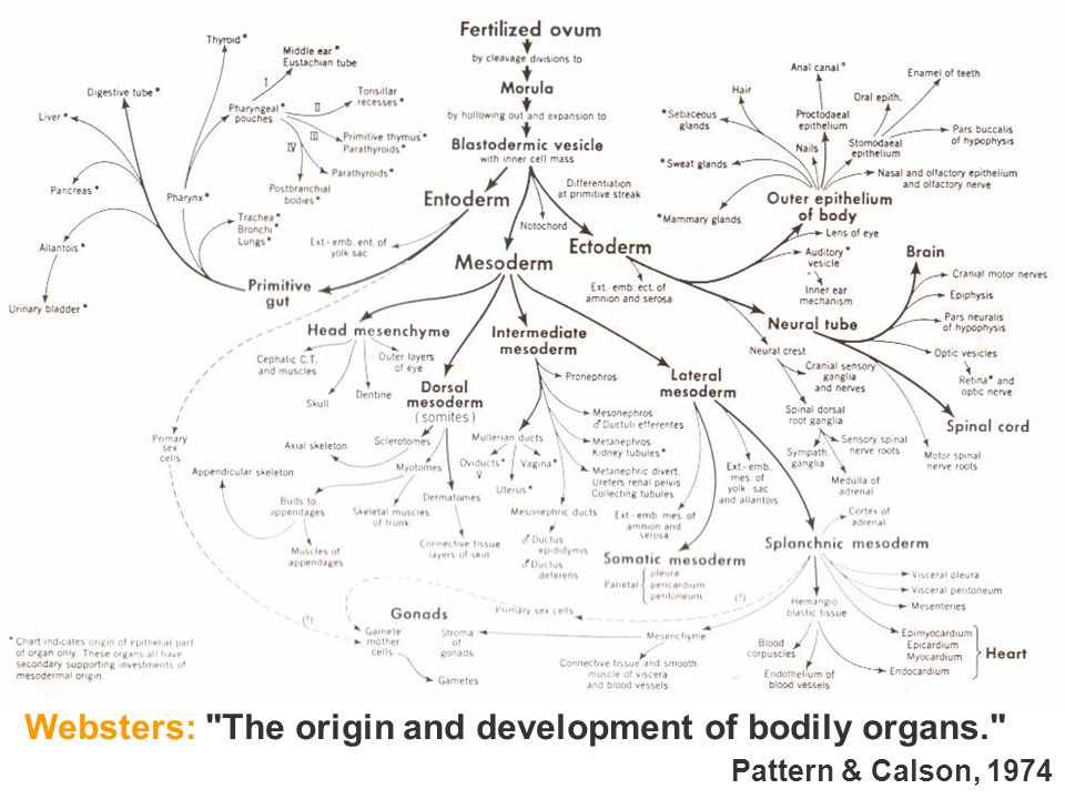 Websters: The origin and development of bodily organs.