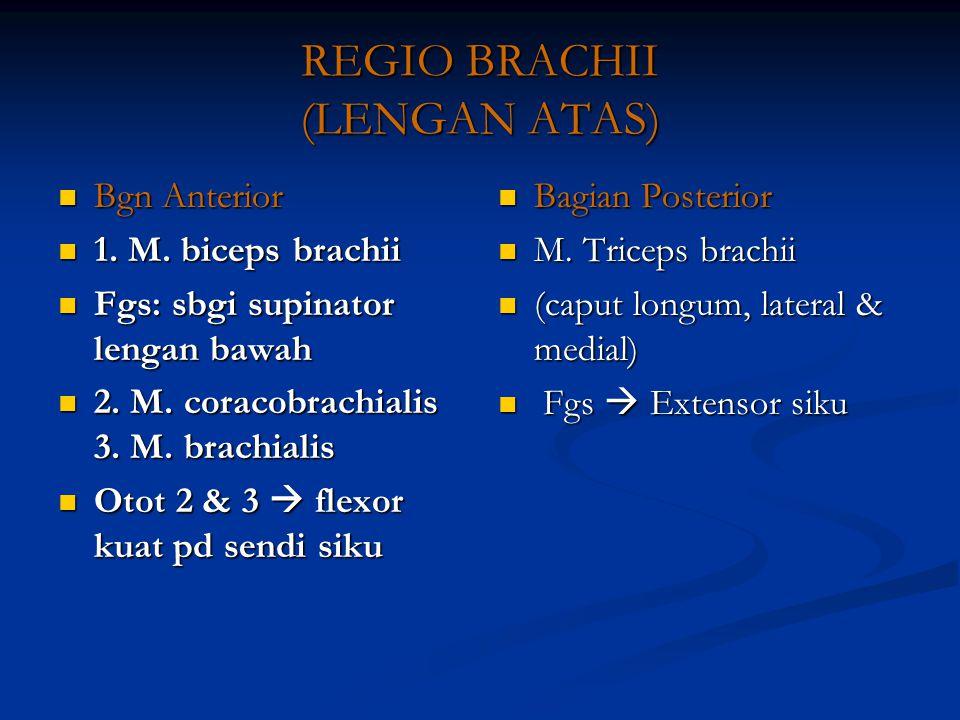 REGIO BRACHII (LENGAN ATAS)