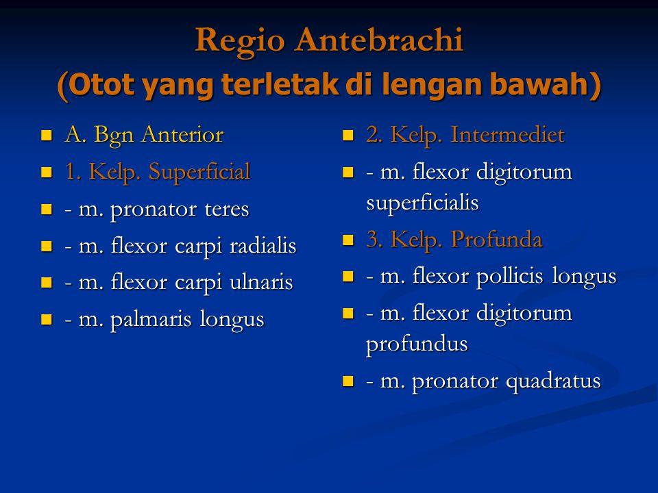 Regio Antebrachi (Otot yang terletak di lengan bawah)