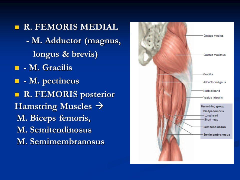 R. FEMORIS MEDIAL - M. Adductor (magnus, longus & brevis) - M. Gracilis. - M. pectineus. R. FEMORIS posterior.