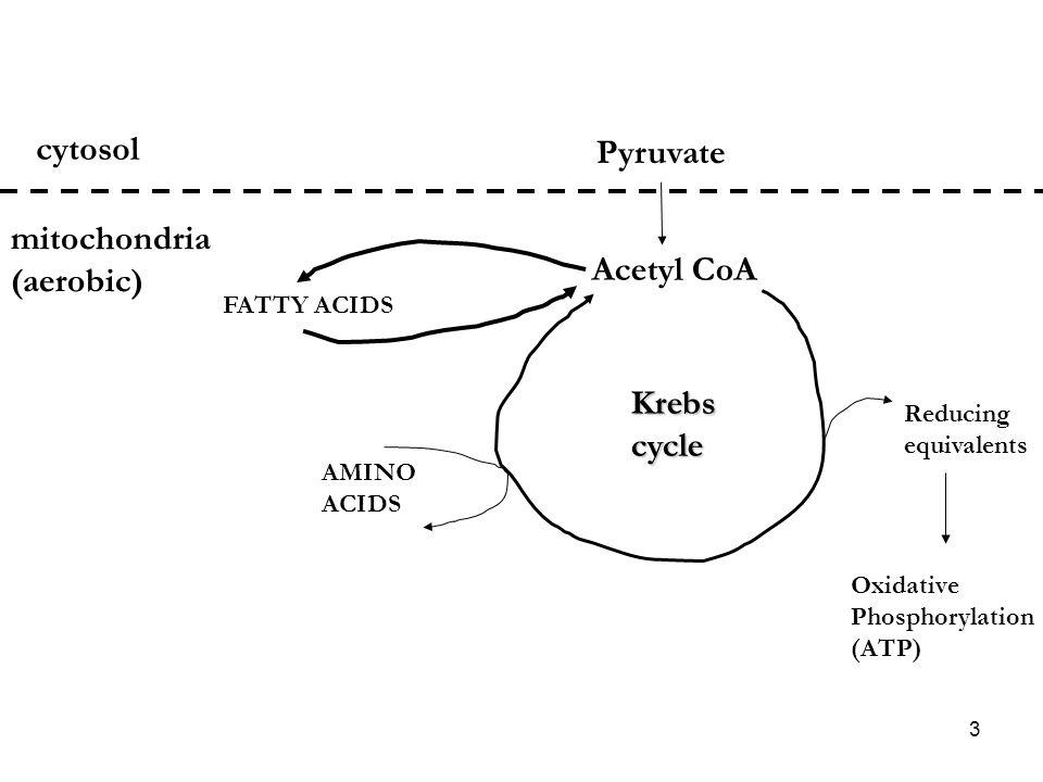 cytosol Pyruvate mitochondria (aerobic) Acetyl CoA Krebs cycle