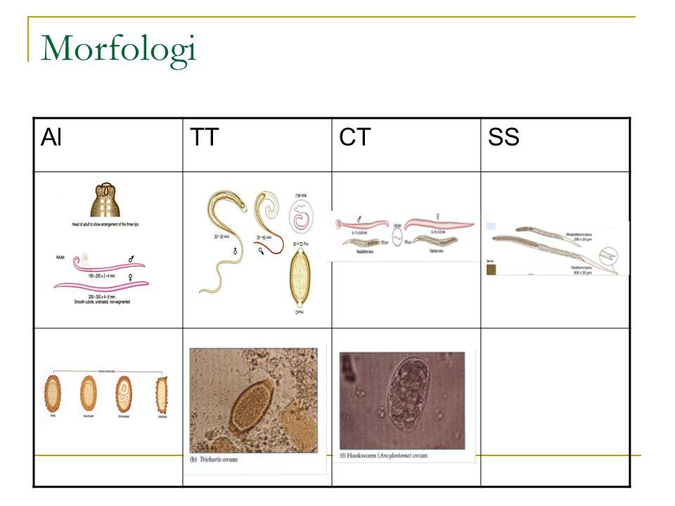 Morfologi Al TT CT SS