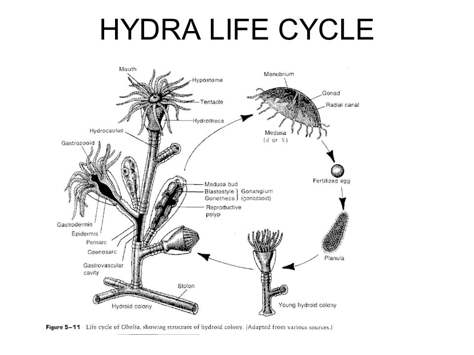 HYDRA LIFE CYCLE
