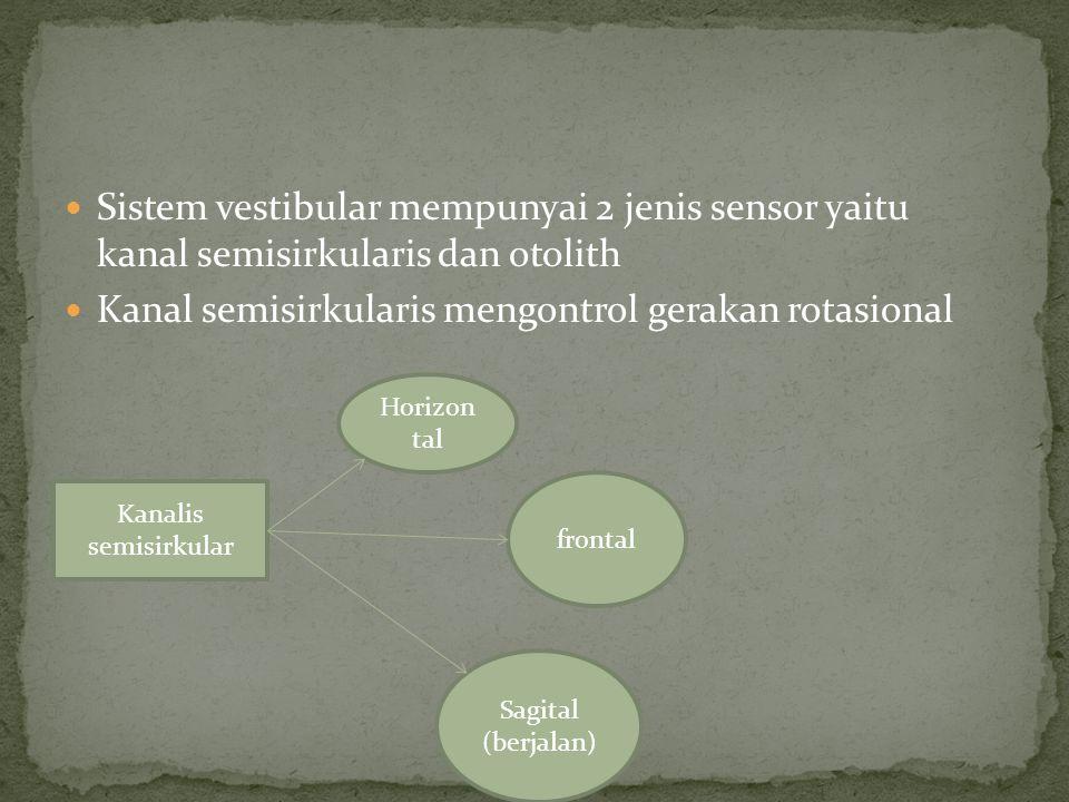 Kanal semisirkularis mengontrol gerakan rotasional