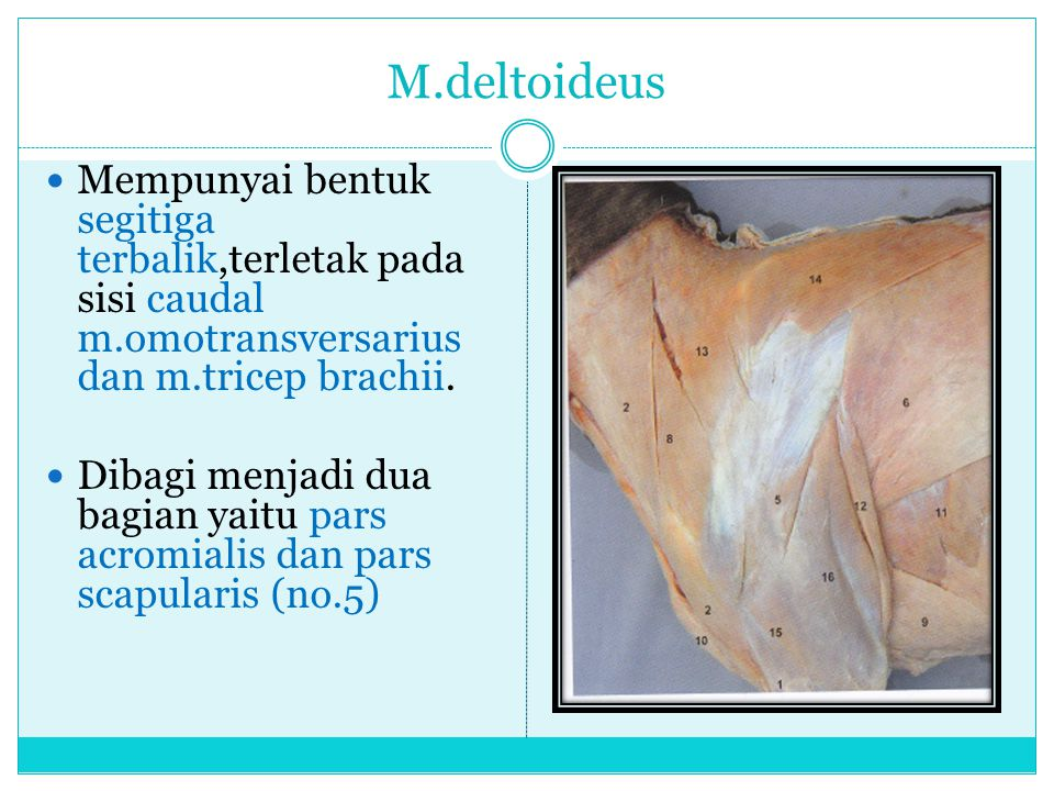 M.deltoideus Mempunyai bentuk segitiga terbalik,terletak pada sisi caudal m.omotransversarius dan m.tricep brachii.