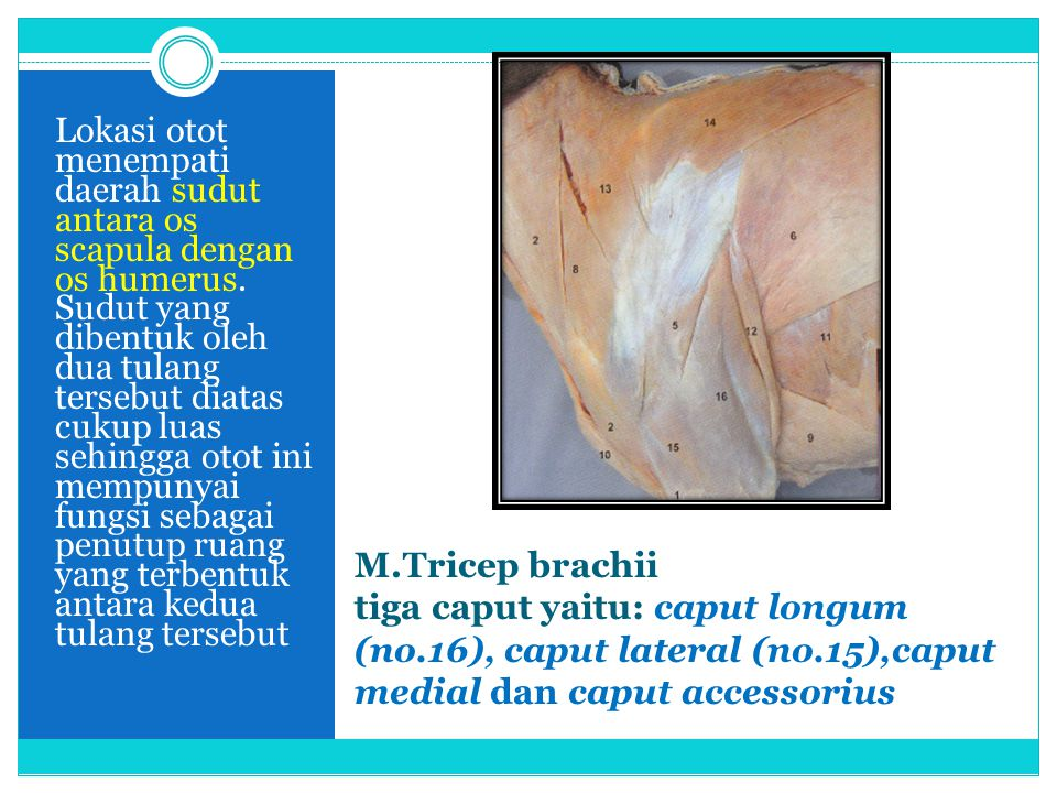 Lokasi otot menempati daerah sudut antara os scapula dengan os humerus