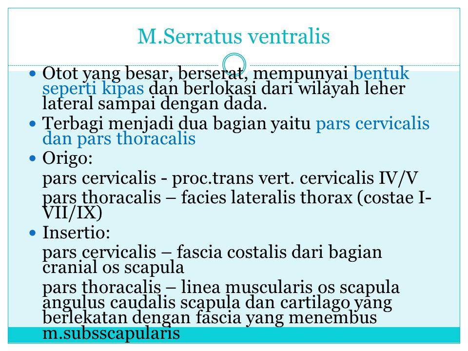 M.Serratus ventralis Otot yang besar, berserat, mempunyai bentuk seperti kipas dan berlokasi dari wilayah leher lateral sampai dengan dada.
