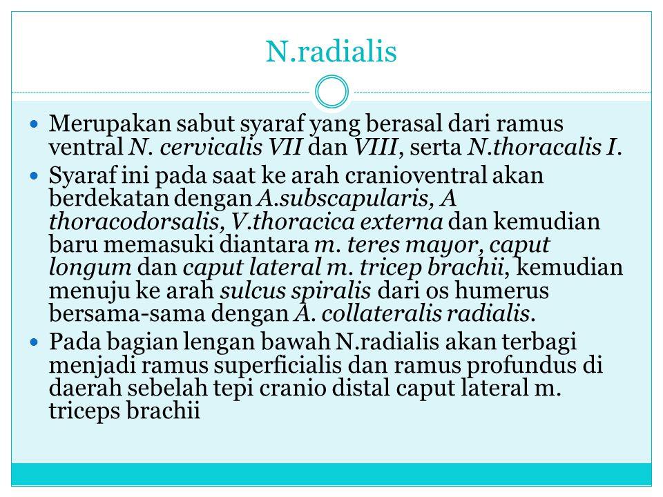 N.radialis Merupakan sabut syaraf yang berasal dari ramus ventral N. cervicalis VII dan VIII, serta N.thoracalis I.