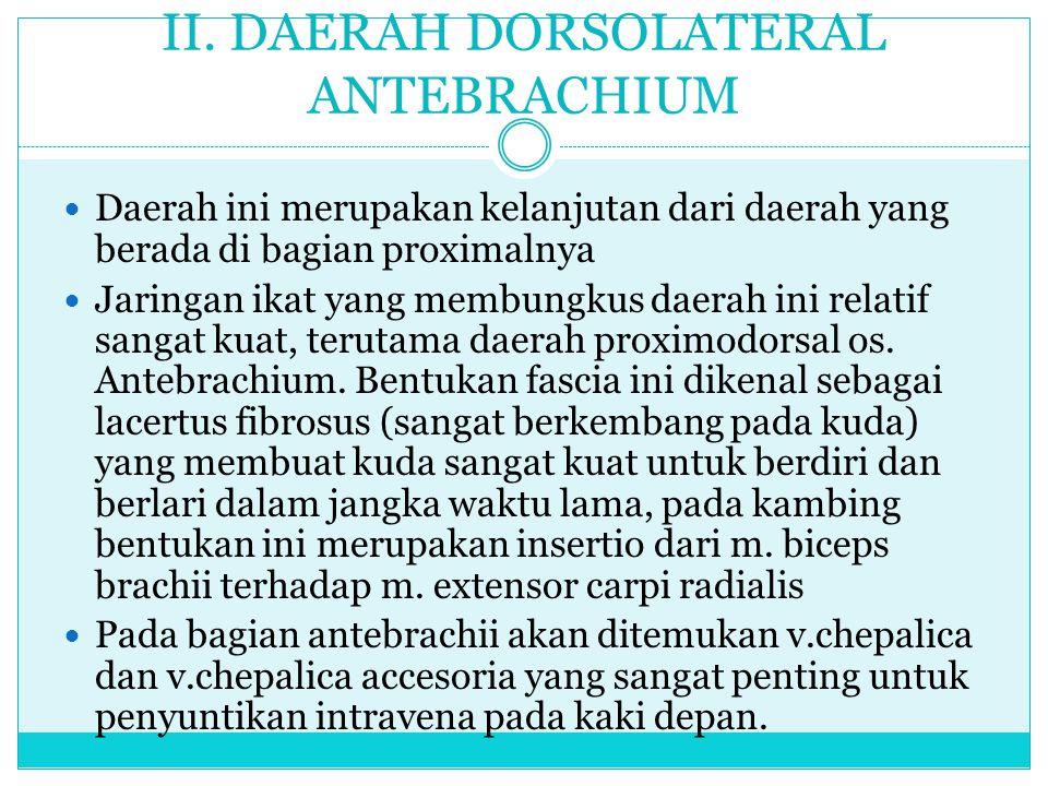 II. DAERAH DORSOLATERAL ANTEBRACHIUM