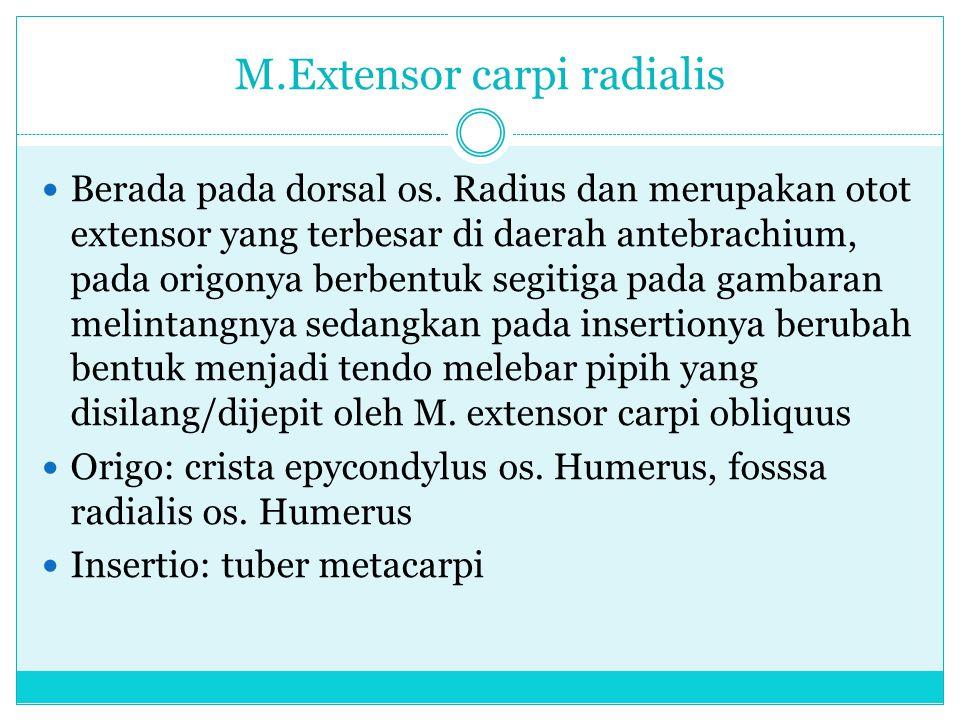 M.Extensor carpi radialis