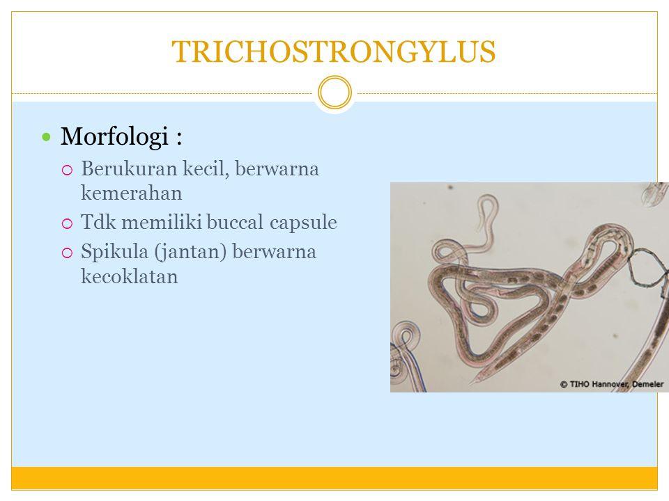 TRICHOSTRONGYLUS Morfologi : Berukuran kecil, berwarna kemerahan