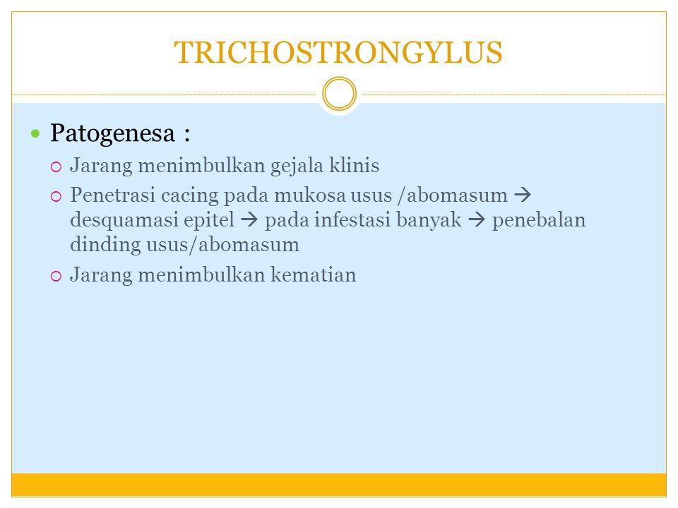 TRICHOSTRONGYLUS Patogenesa : Jarang menimbulkan gejala klinis