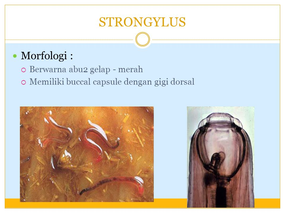 STRONGYLUS Morfologi : Berwarna abu2 gelap - merah