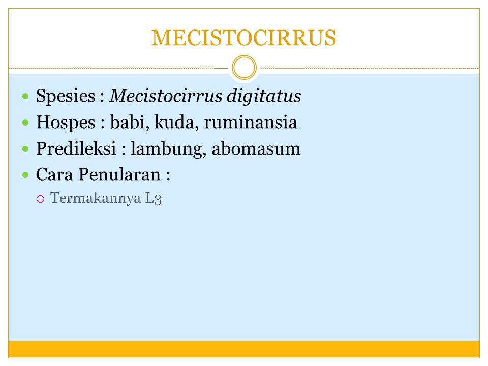 MECISTOCIRRUS Spesies : Mecistocirrus digitatus