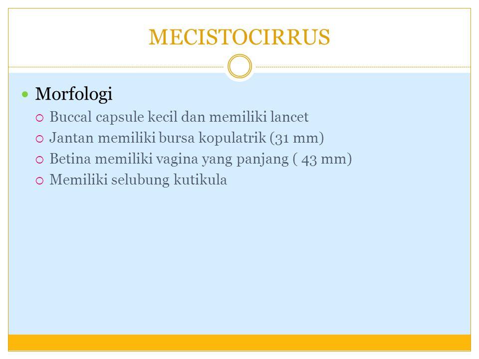 MECISTOCIRRUS Morfologi Buccal capsule kecil dan memiliki lancet