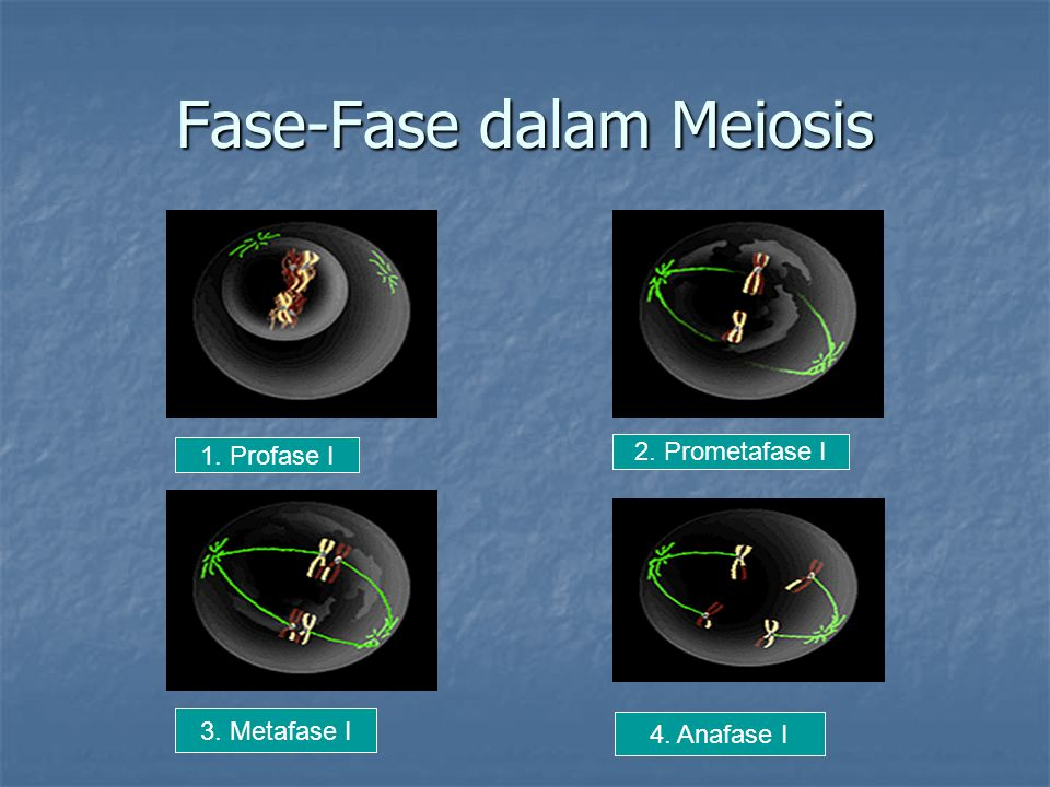 Fase-Fase dalam Meiosis