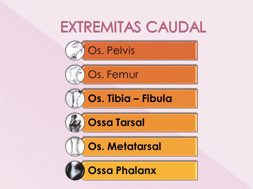 EXTREMITAS CAUDAL Os. Pelvis Os. Femur Os. Tibia – Fibula Ossa Tarsal