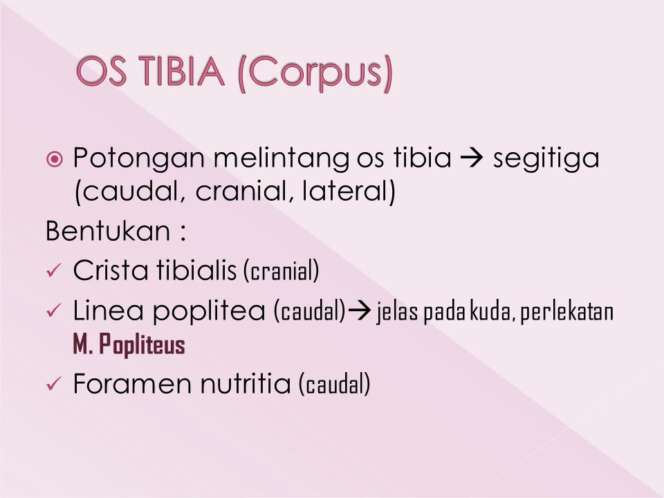 OS TIBIA (Corpus) Potongan melintang os tibia  segitiga (caudal, cranial, lateral) Bentukan : Crista tibialis (cranial)