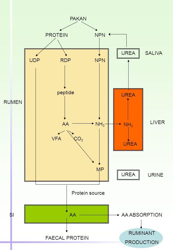 PAKAN PROTEIN. NPN. UREA. SALIVA. UDP. RDP. NPN. peptide. UREA. RUMEN. LIVER. AA. NH3. NH3.