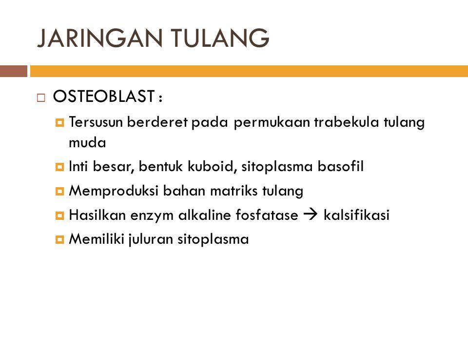 JARINGAN TULANG OSTEOBLAST :
