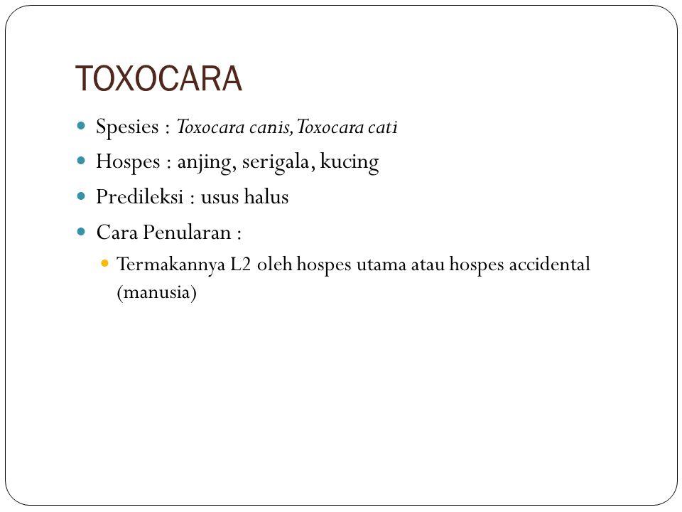 TOXOCARA Spesies : Toxocara canis, Toxocara cati