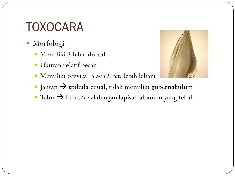 TOXOCARA Morfologi Memiliki 3 bibir dorsal Ukuran relatif besar
